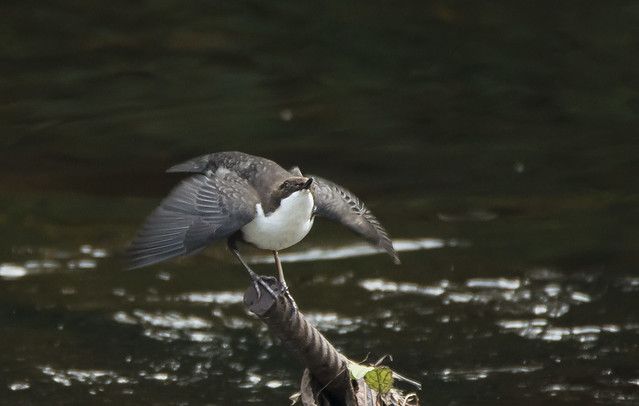 Dipper - mating display