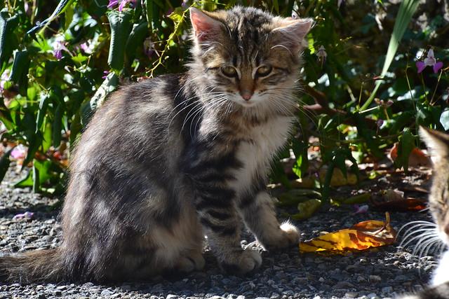 Pont-en-Royan kitten