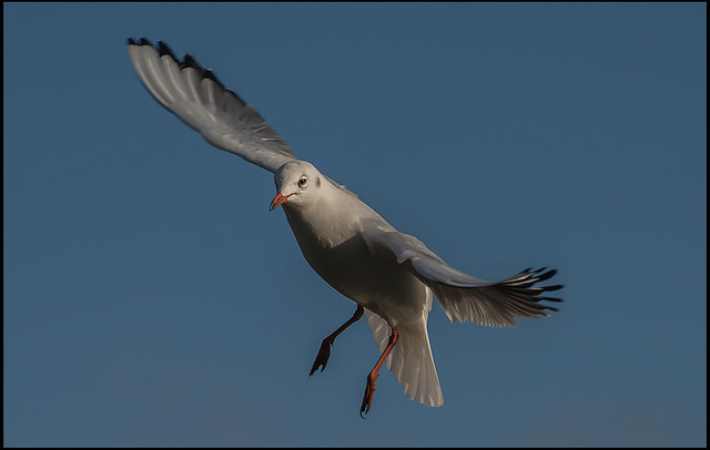 we are back. ( Black headed Gull. )