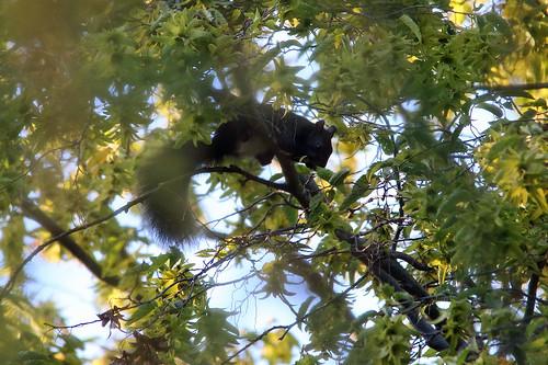 19711.Eichhörnchen im Baum