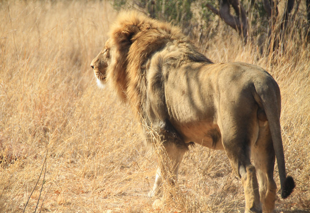 Lion at Ukutula in South Africa