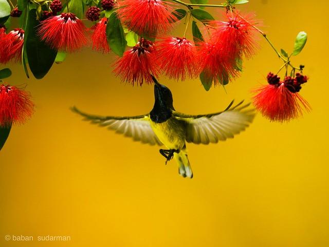 Flying bird  - Olive Sunbird (Cyanomitra olivacea)