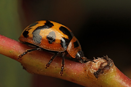 Ladybird - Tirbe Coccinellini
