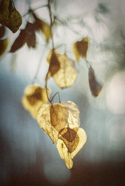 Golden Leaves in the Gloom