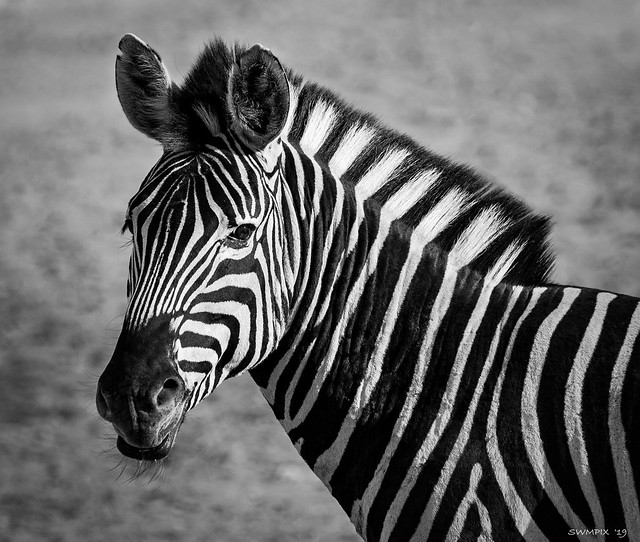 Zebra Portrait Black and White