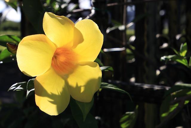 軟枝黃蟬 Golden Trumpet