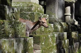 Nara Deer, Kasuga Taisha