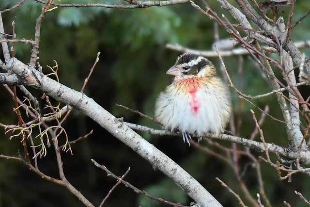 Tígultáti - Rose breasted Grosbeak - Pheucticus ludovicianus