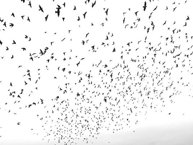In the Midst of a Murmuration