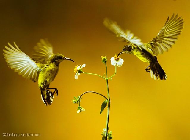 Flying birds .. The olive sunbird (Cyanomitra olivacea)