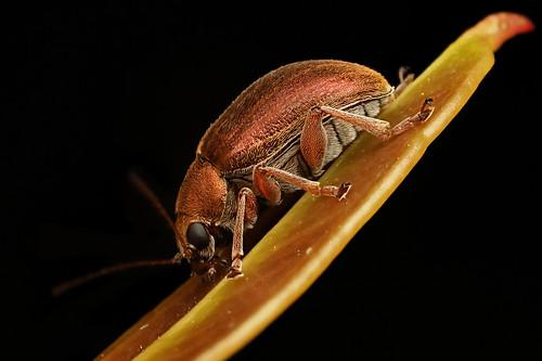 Leaf Beetle?