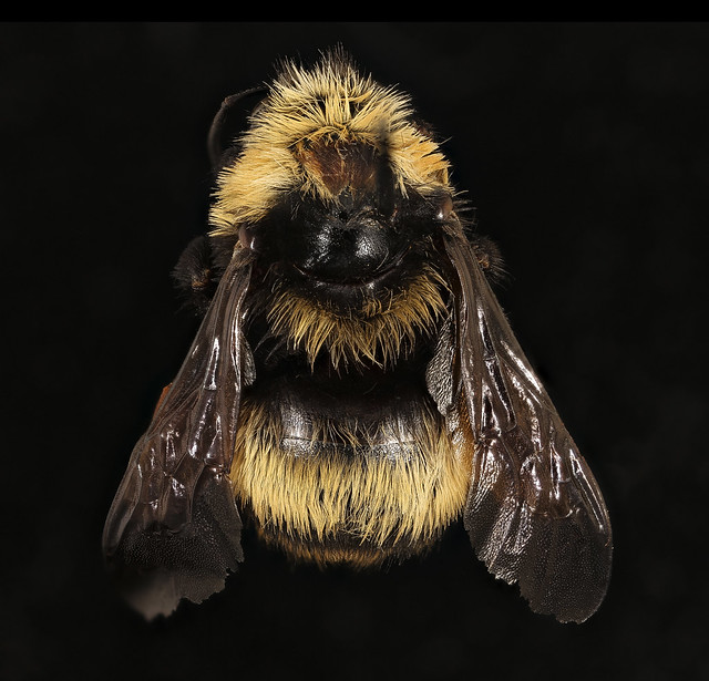 Bombus crotchii, f, back, Yolo Co, CA_2019-03-21-18.56.07 ZS PMax UDR-Recovered