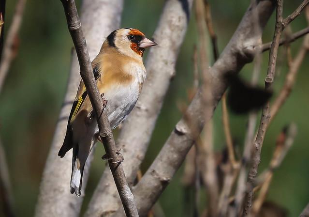European Goldfinch Madrona Marsh Torrance  Southern California -187