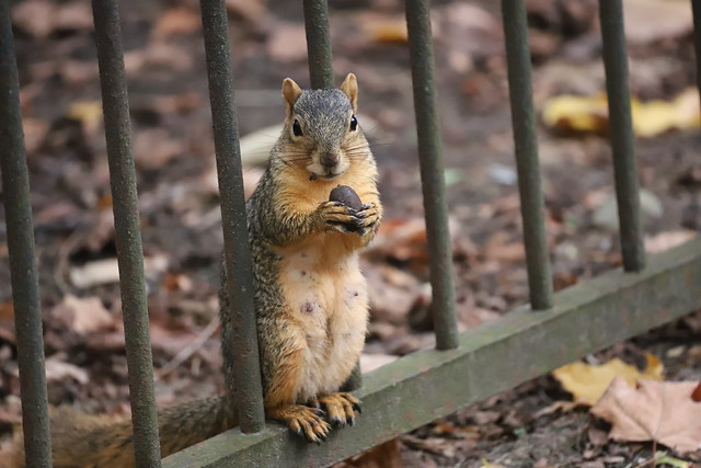 132/366/4149 (October 21, 2019) - Juvenile and Adult Fox Squirrels in Ann Arbor at the University of Michigan - October 21st, 2019