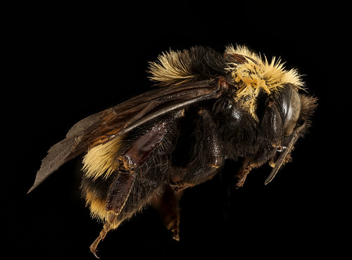 Bombus crotchii, f, right, Yolo Co, CA_2019-03-21-19.03.51 ZS PMax UDR