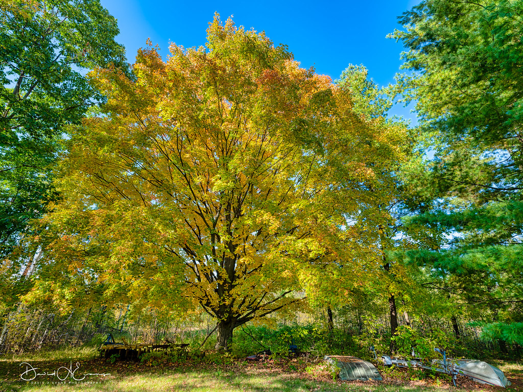On the Farm  A large Maple tree turns yellow before turning red on a farm in Alcona County, Michigan.