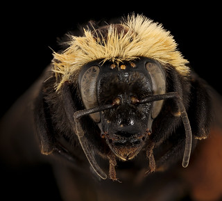 Bombus crotchii, f, face, Yolo Co, CA_2019-03-21-19.09.29 ZS PMax UDR-Recovered