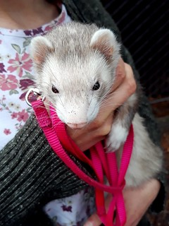 A Little Girl Ferret Named Hiccup
