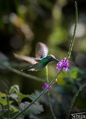 Hummingbird Ecuador