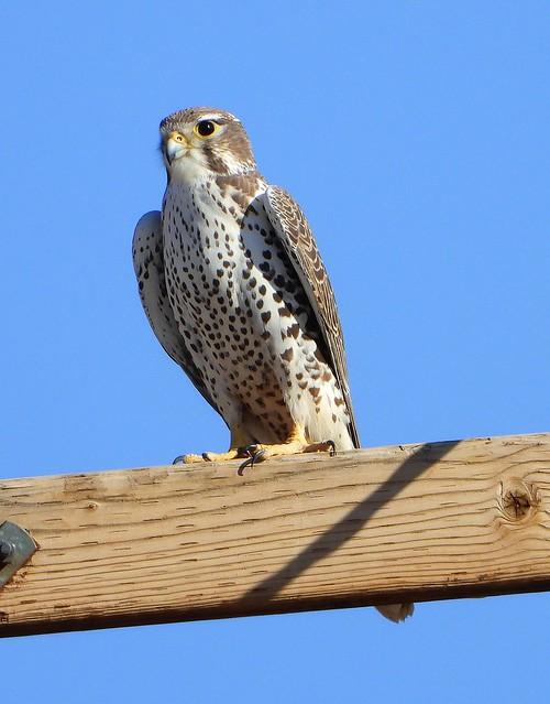 Prairie Falcon-111818 (6)