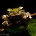 Green-eyed tree frog (Litoria serrata)