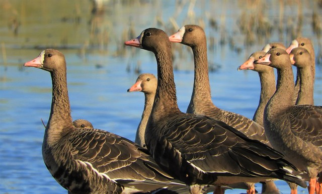 Winter Is Coming: The White-Fronted Geese are here!