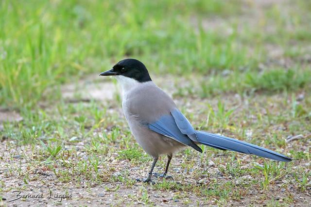 Cyanopica cyana | Pie bleue | Azure-winged Magpie | Rabilargo | Blauelster