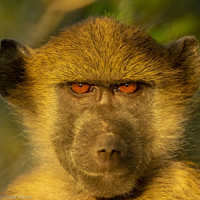 Staring contest with a baboon