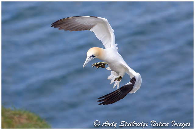 Coming into Land - Northern Gannet
