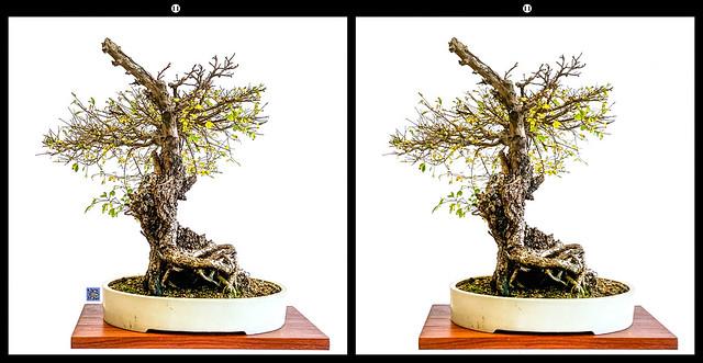 ulmus parvifolia corticosa 10-19-19
