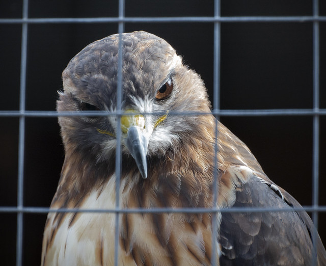 Imprisoned Red Tail
