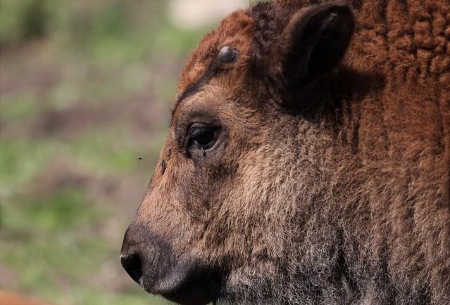 American bison, calf (Bison bison) in Smålandet Moose Safari