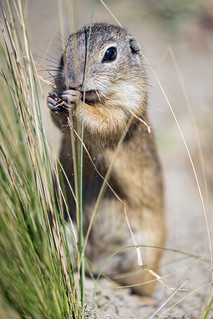 Ground squirrel next to the grass | by Tambako the Jaguar