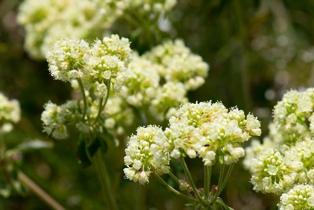 Green wildflower buds