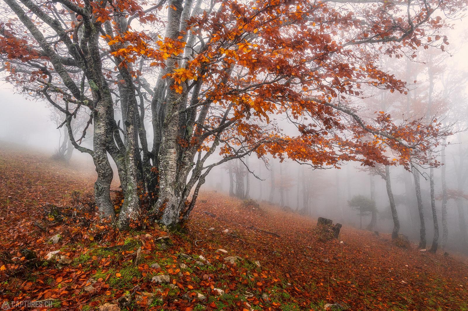Red tree in the fog - Weissenstein