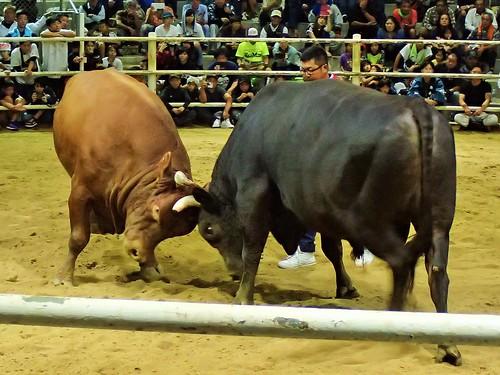2019Tokunoshima-bullfight-