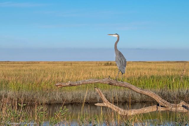 Great blue heron marshscape - Delmarva Penninsula, Delaware