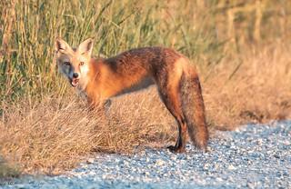 Juvenile red fox - Delmarva Penninsula, Delaware