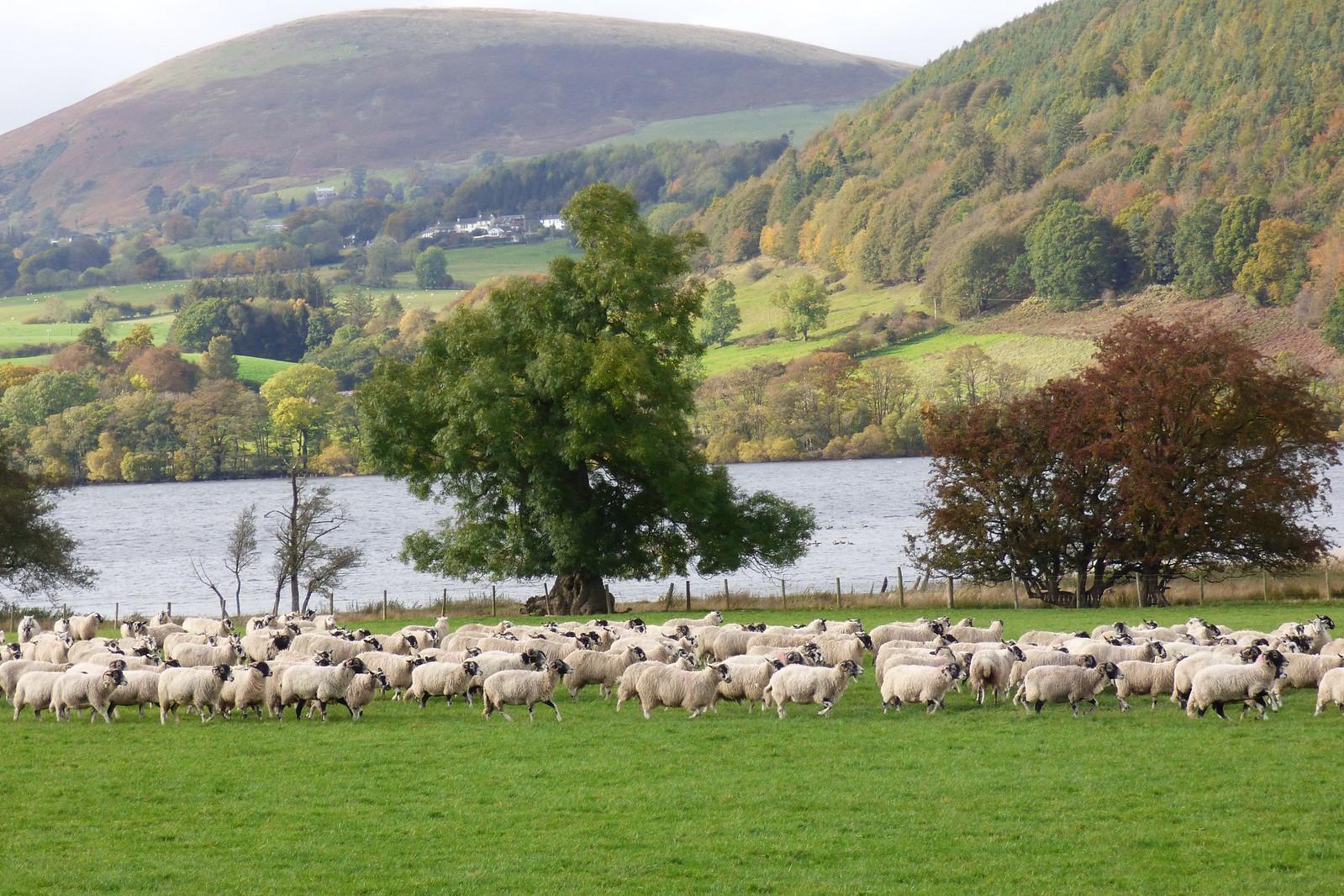 Sheep gathering, Ullswater, Cumbria