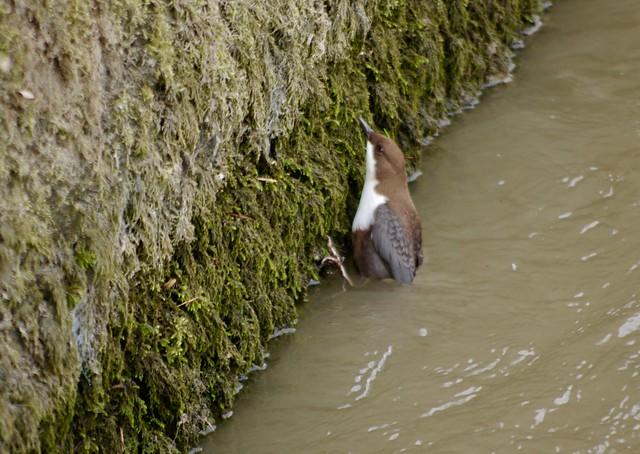 Mirlo acuático europeo (Cinclus cinclus)