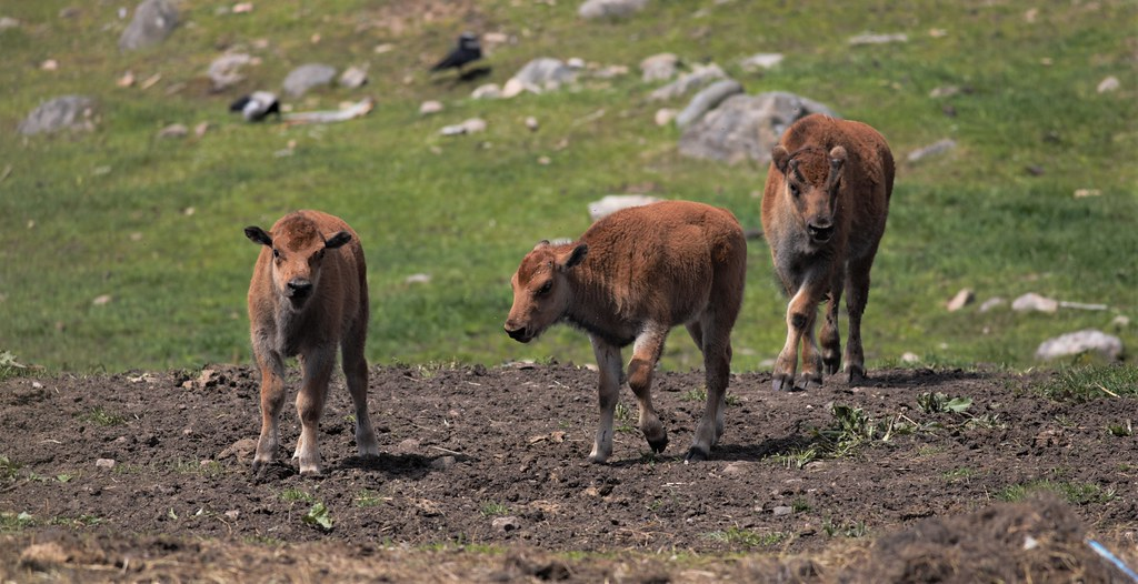 American bison calfs (Bison bison) in Smålandet Moose Safari, Sweden