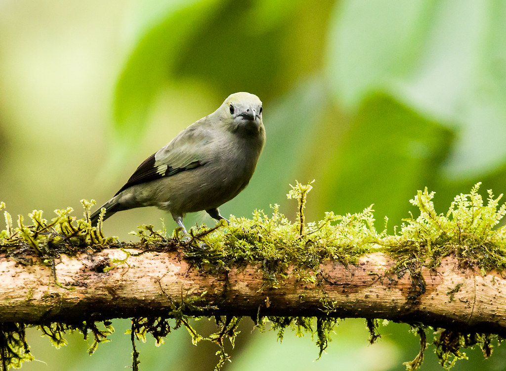 0P7A3004  Palm Tanager, Ecuador