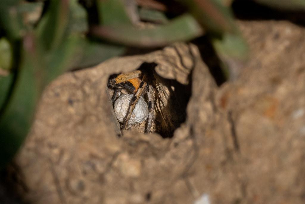 Lycosa Tarantula (Female)