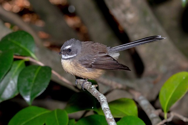 New Zealand native Fantail  5156