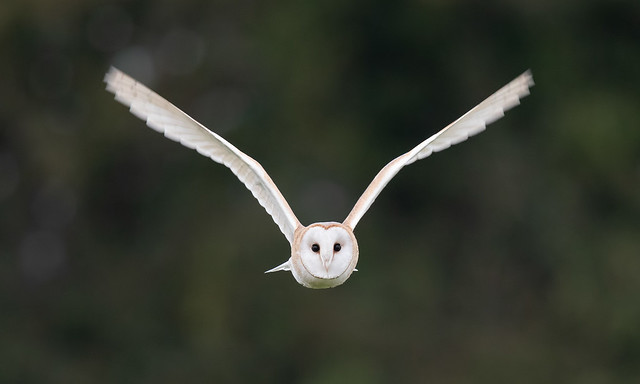 Barn owl on the Somerset Levels