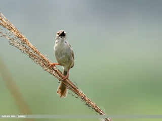 Graceful Prinia (Prinia gracilis)