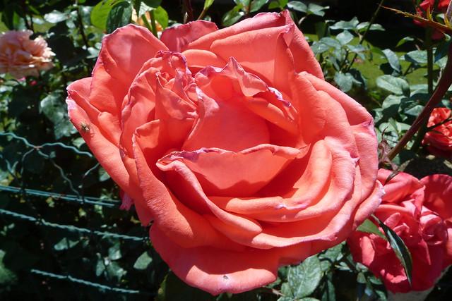 ROSES de JUIN .