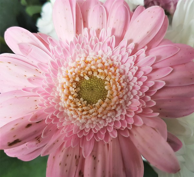 Pink Gerbera - Mottled Petals