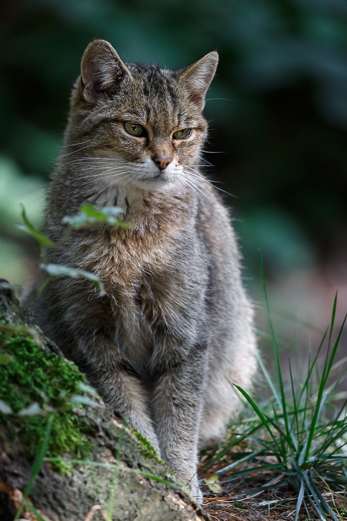 European wildcat,  Wildpark Gangelt, Germany   by Frank Güldner