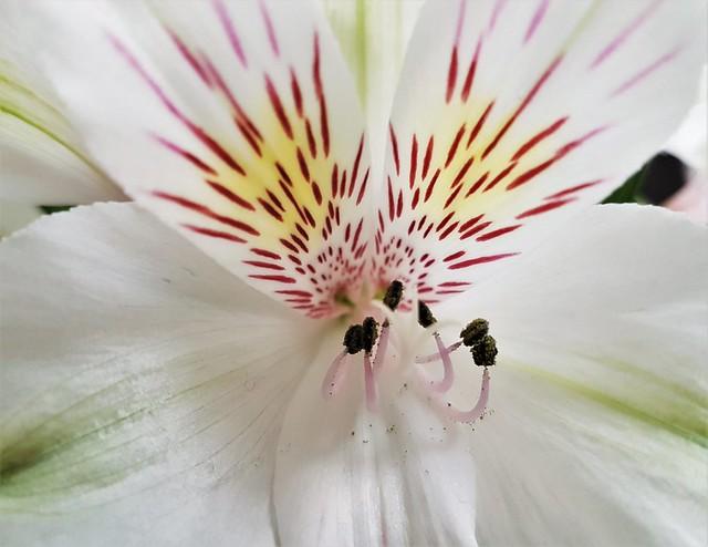 Alstroemeria Petals Macro